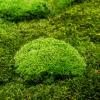 machovy-obraz-greenin-prirodny-mach